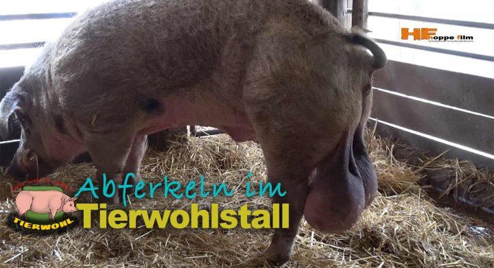 Tierwohl ist in der Landwirtschaft ein großes Thema. Filmproduktion in einem Schweinestall in Spelle im Emsland durch hoppe-film